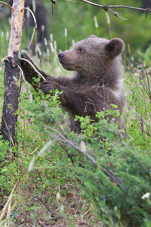 Grizzly bear cub standing up against an old tree - CA