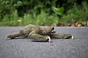 21/02/16 <br /> <br /> Covered in green algae, a sloth makes its way across a  road, very slowly, in the northern hills of Panama.<br /> <br /> All Rights Reserved: F Stop Press Ltd. +44(0)1335 418365   +44 (0)7765 242650 www.fstoppress.com
