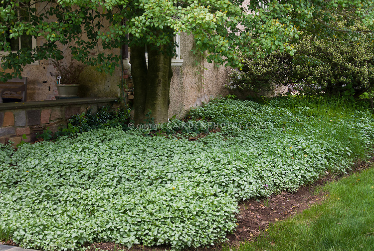 Lamium maculatum Beacon Silver groundcover spreading under shade tree next to house and lawn grass