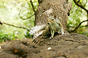 North America, USA, California, San Francisco, Golden Gate Park. Grey Squirrel.