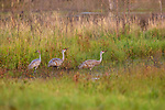 A sandhill crane family drinking at the edge of a wetland in northern Wisconsin.