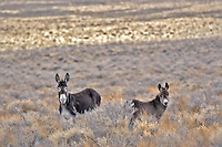 Wild burros. Near Dinio