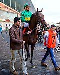 OZONE PARK, NY - NOVEMBER 26, 2016: You're to Blame #7 in the paddock for the Grade 2 Remsen Stakes for 2-year olds, at Aqueduct Racetrack . (Photo by Sue Kawczynski/Eclipse Sportswire/Getty Images)