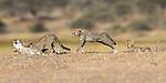 Female cheetah (Acinonyx jubatus) with three cubs (around 5 months old). Ndutu area, Serengeti / Ngorongoro Conservation Area (NCA), Tanzania.