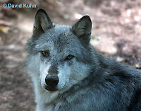 0823-1009  Gray Wolf (Grey Wolf), Canis lupus  © David Kuhn/Dwight Kuhn Photography