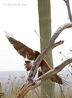0405-1204  Harris's Hawk in Flight, Harris Hawk (Bay-winged Hawk or Dusky Hawk), Parabuteo unicinctus  © David Kuhn/Dwight Kuhn Photography