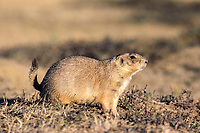 black-tailed prairie dog, Cynomys ludovicianus, North America