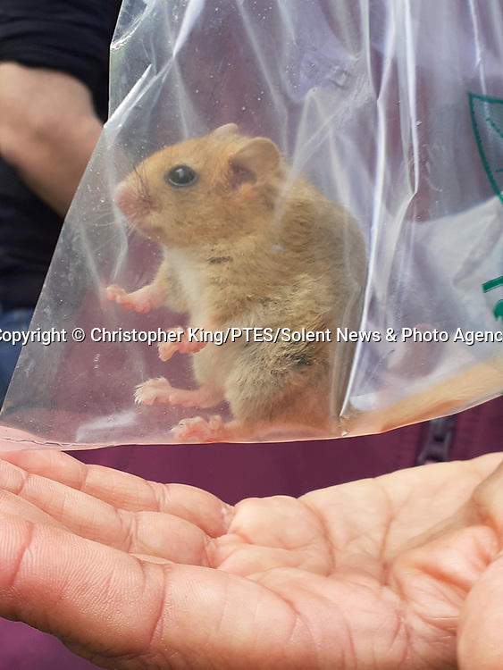 Pictured: A dormouse in a weigh bag<br /> <br /> A small hazel dormouse is weighed in a plastic bag as part of a study into the species' dwindling population.  The mice are preparing for hibernation and are weighed to monitor eating habits and assess whether they have eaten enough to survive the winter.<br /> <br /> This one weighed around 28 grams - eight grams above the average of 20.  The population of dormice in Britain has more than halved in the last 20 years due to climate change and shrinking habitats.  SEE OUR COPY FOR DETAILS<br /> <br /> Please byline: Christopher King/PTES/Solent News<br /> <br /> © Christopher King/PTES/Solent News & Photo Agency<br /> UK +44 (0) 2380 458800
