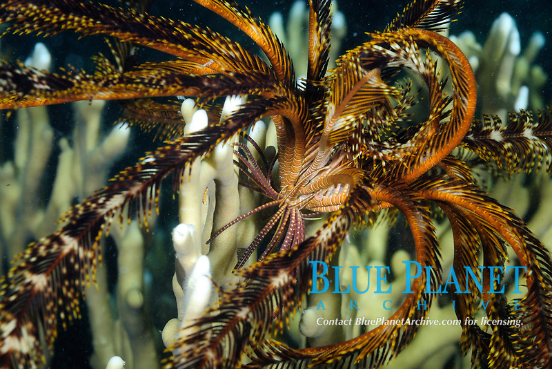 Feather star at night (scientific name: Stephanometra sp.), echinoderm, off Hamata coast, Egypt, Red Sea. Feather stars also known as crinoids. They are characterized by radial symmetry.