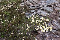 Mountain aven, Utukok Uplands, National Petroleum Reserve Alaska, Arctic, Alaska.