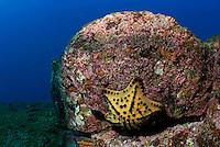 Chocolate Chip Star (Nidorellia armata), underwater view, Ecuador, Galapagos Archipelago, Espanola Island