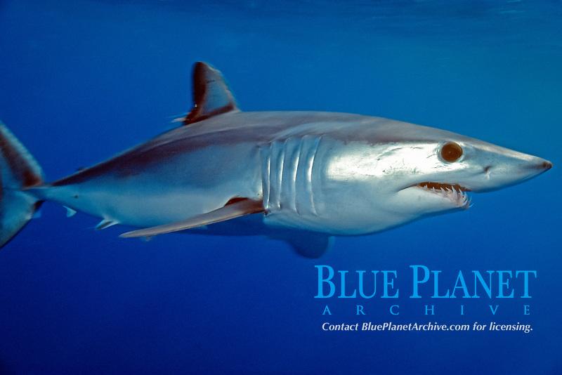 shortfin mako shark Isurus oxyrinchus California, East Pacific Ocean