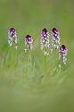 Burnt / Burnt-tip Orchid {Orchis ustulata} flowering in ancient alpine meadow. Nordtirol, Austrian Alps. June.