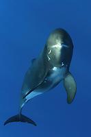 pygmy killer whale, Feresa attenuata, Kona Coast, Big Island, Hawaii, USA, Pacific Ocean Ocean