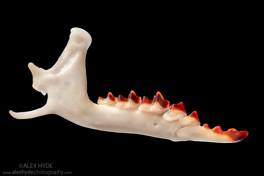 Mandible of Common Shrew (Sorex araneus) retrieved from soil under a Barn Owl (Tyto alba) roost. The red tooth enamel contains iron, which adds strength. The iron is concentrated in regions of the tooth that come under the most stress, specifically the chewing and grinding surfaces.