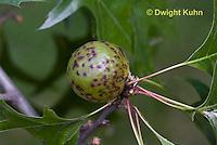 HY16-505z  Oak Apple Gall on Oak Tree, Amphibolips confluenta