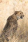 Cheetah (Acinonyx jubatus) female, Greater Makalali Private Game Reserve, South Africa
