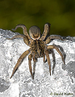 1006-0912  Wolf Spider on Rock, Hogna spp. [formerly Lycosa spp.]  © David Kuhn/Dwight Kuhn Photography
