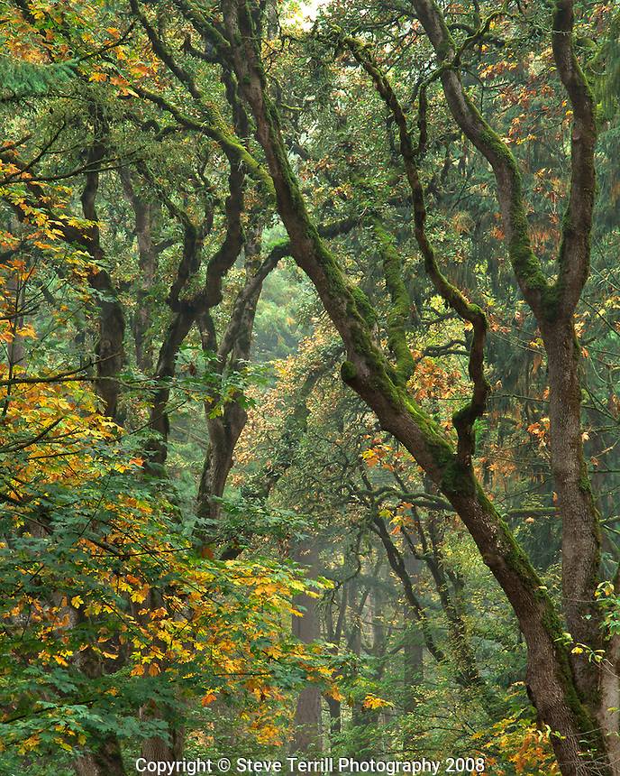 Autumn colors (Big leaf maple) in fog in Champoeg State Park in the Willamette Valley of Oregon