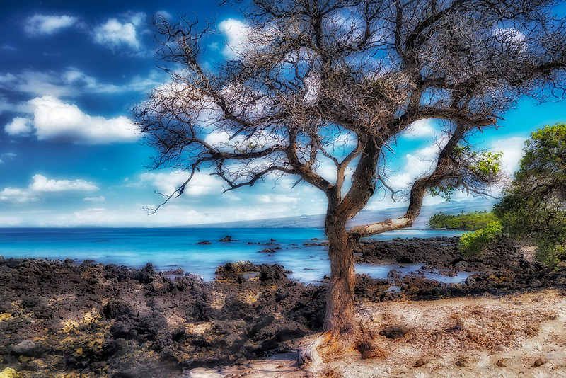 Dead tree on kohala coast. Hawii, The Big Island.