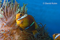 0320-1113  Clark's anemonefish (Yellowtail clownfish), Amphiprion clarkii, with Bulb-tipped Anemone, Entacmaea quadricolor  © David Kuhn/Dwight Kuhn Photography.