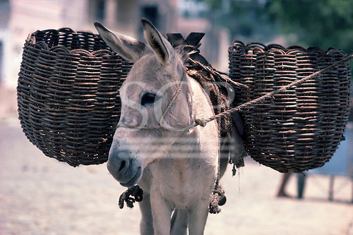 Bahia, Brazil. White donkey with large wicker basket panniers and a rope halter.