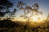 California, East Bay Parks, Tilden Regional Park, Cow parsnip on Vollmer Peak