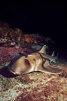 Port Jackson shark, Heterodontus portusjacksoni (a type of bullhead shark or horn shark) Forster, New South Wales, Australia