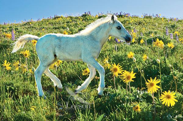 Wild Horse colt in wildflowers.
