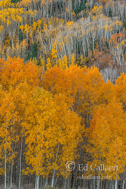 Aspen, Populus Tremala, Boulder Mountain, Dixie National Forest, Utah