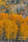 Aspen, Populus Tremala, Boulder Mountain, Dixie National Forest, Utah