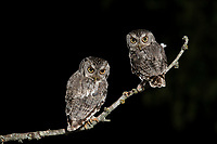 Eastern Screech-Owl, Megascops asio, adults at night , Hill Country, Texas, USA