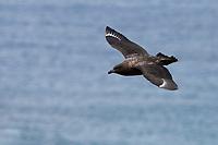 Brown Skua (Stercorarius antarcticus lonnbergi), Subantarctic subspecies, in flight over Sandy Bay, Macquarie Island, Australia.