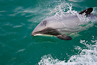 Hector's dolphin, Cephalorhynchus hectori, exhales while porpoising at the surface, Akaroa, Banks Peninsula, South Island, New Zealand (South Pacific Ocean)