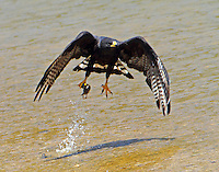 Zone-tailed hawk taking off from river with small bird kill. Hawk was on its way back to nearby nest.