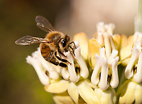 A honeybee gets nectar from a desert milkweed ([Asclepias subulata]), seen in a closeup.
