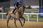 MEYDAN,DUBAI-MARCH 24: Super Jockey ,trained by Tony Millard,exercises in preparation for the Dubai Golden Shaheen at Meydan Racecourse on March 24,2016 in Meydan,Dubai (Photo by Kaz Ishida)