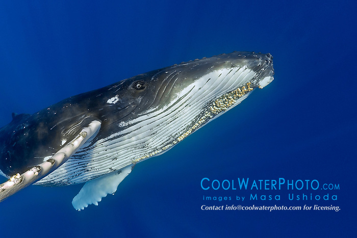 humpback whales, Megaptera novaeangliae, adult female with well developed colony of parasitic acorn barnacles, Cornula diaderma, Hawaii, USA, Pacific Ocean
