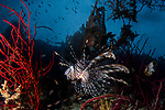 Lionfish on the reef, Pterois volitans, venomous fish highly toxic with divers