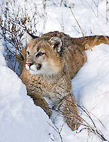 Young mountain lion (Felis concolor) exploring forest margins in fresh snow