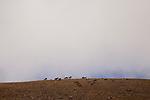 Siberian Ibex (Capra sibirica) boars grazing on mountain, Pikertyk, Tien Shan Mountains, eastern Kyrgyzstan