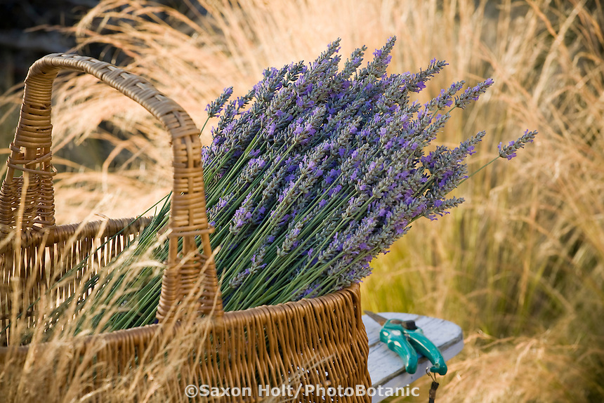 Basket of harvested lavender in basket on garden chair in country garden with grasses