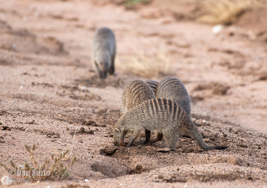 A group of Banded Mongooses, Mungos mungo, dig in sandy soil beside a dry creekbed in Serengeti National Park, Tanzania.