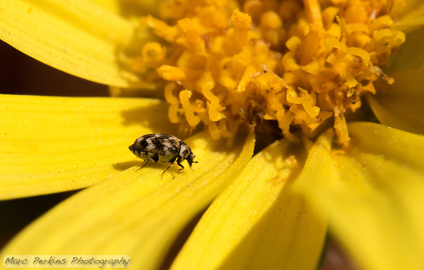 A carpet beetle, [Anthrenus verbasci]? stands on a ray flower of a giant coreopsis [Coreopsis gigantea] compound flower.  Dozens of pollen grains can be seen on the beetle, and its wing covers have a very neat speckled pattern on them.