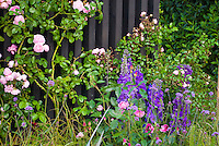 Pink and purple color themed garden of climbing roses Rosa, Delphinium and Verbena bonariensis, perennials and annuals together
