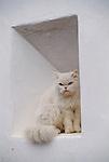Domestic cat, Avers-Juf, Averserrhein Region, Switzerland.