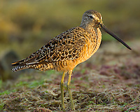 Long-billed Dowitcher, Goose Island State Park, Texas