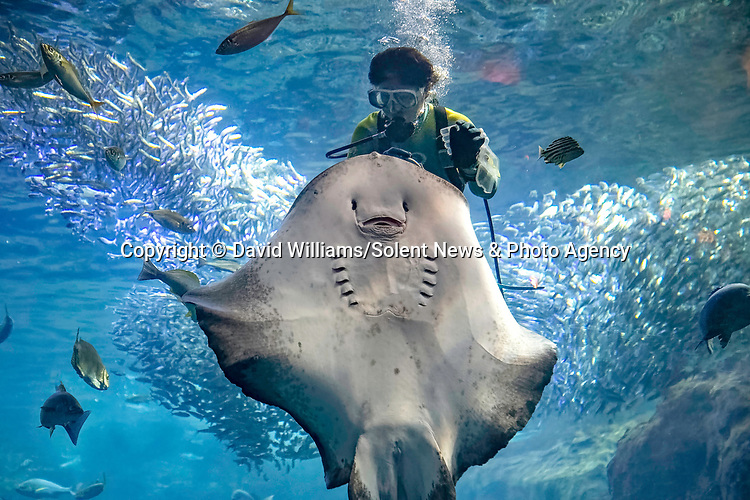 """A giant ray appears jubilant as it smiles widely while being fed.   The diver had entered the tank to check for any dead fish - but the ray spotted an opportunity for a snack. <br /> <br /> When they ran out of food the rays were still reluctant to let the diver go, and followed her around as she tried to leave. The photos were taken at the Enoshima Aquarium in Kanagawa, Japan, by professional British photographer David Williams, who said: """"I was originally going to take photos of jellyfish, but I always stop by the huge wall of glass to watch the fish.  SEE OUR COPY FOR DETAILS.<br /> <br /> Please byline: David Williams/Solent News<br /> <br /> © David Williams/Solent News & Photo Agency<br /> UK +44 (0) 2380 458800"""