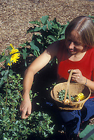 Woman person picking gourmet purslane salad greens and edible flowers in vegetable garden with basket, gardening and harvesting. Botanical name is Portulaca oleracea (common purslane, also known as verdolaga, pigweed, little hogweed, or pursley, and moss rose)