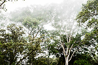 Mist-topped trees at Kalopa State Park, Hamakua district of the Big Island of Hawai'i.